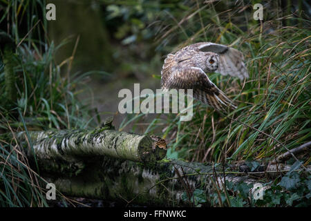 short-eared owl (Asio flammeus) taking off from a branch - Stock Photo