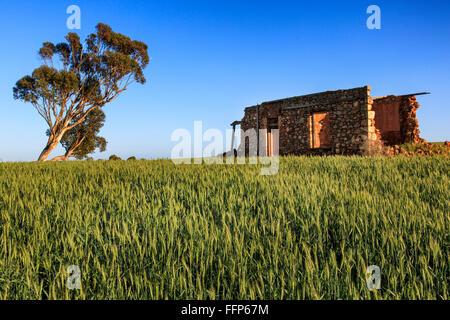 Old farm house in an Australian wheat field - Stock Photo