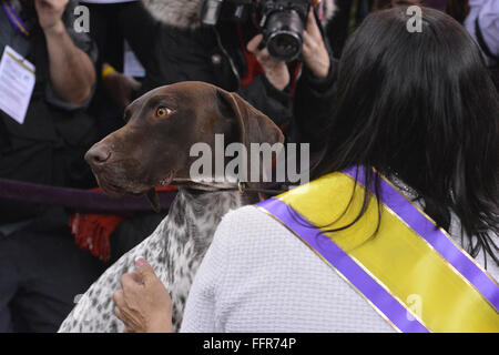 New York, USA. 16th February, 2016. C.J., a German shorthaired pointer takes a look around after winning of Best - Stock Photo