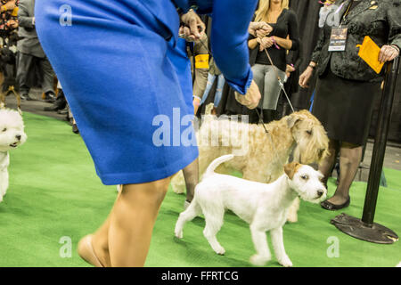 New York, USA. 16th February, 2016. Dogs and their handlers about to enter the ring at the 140th Westminster Kennel - Stock Photo