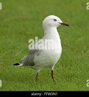 Australian silver gull seagull Chroicocephalus novaehollandiae on emerald grass at coastal town in Queensland - Stock Photo