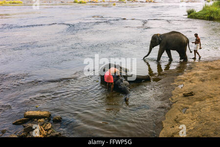 Trainers bathe young elephant in the Periyar river as part of training regimen at dawn . - Stock Photo