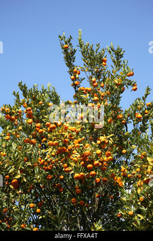 Fruits , Oranges on tree Citrus reticulata Clementin Rutaceae on the way to Periyar Wildlife Sanctuary , Thekkady, - Stock Photo