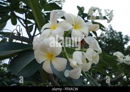 White flowers on a frangipani tree, Plumeria sp., an ornamental tropical plant, Bangkok, Thailand - Stock Photo