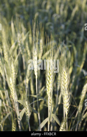 Grain , crop of wheat Gehun Triticum aestivum in field , Maharashtra , India - Stock Photo