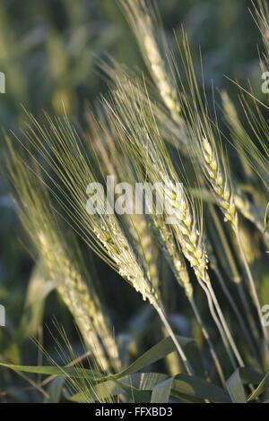 Grain , crop of wheat Gehun Triticum aestivum in field , Maharashtra , India - Stock Photo