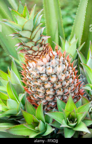 Fruit , Pineapple Ananas comosus Bromalid plant oblong brown pink rough serrated green leaves - Stock Photo