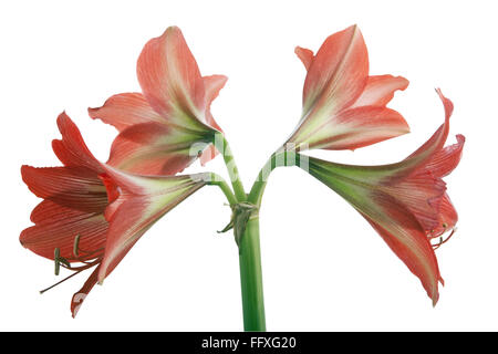 Amaryllis lily - Stock Photo