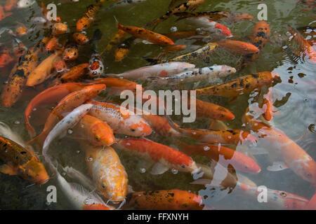 Koi carp fishes in pond taipei taiwan stock photo for Ornamental pond fish types