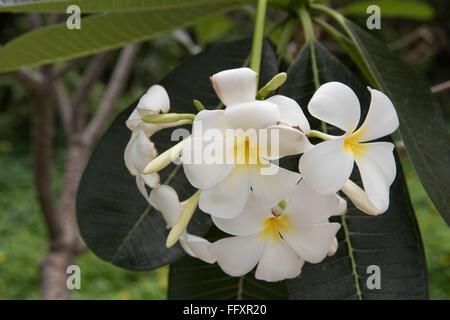 White flowers on a frangipani tree, Plumeria sp., an ornamental tropical plant, Bangkok, Thailand - Stock Photo