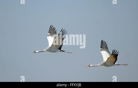Birds , Demoiselle Crane Anthropoides virgo in flight - Stock Photo