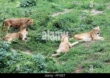 Lioness Panthera Leo resting in Guwahati zoo , Assam , India - Stock Photo