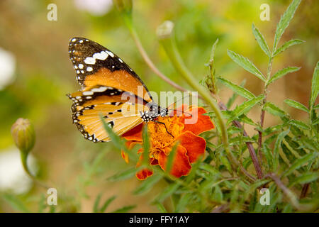 Insect , Plain Tiger Danaus chrysippus butterfly sucking nectar from flower - Stock Photo