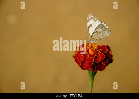 Insect , Butterfly sucking nectar from flower - Stock Photo