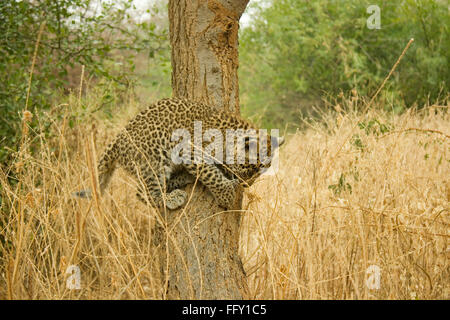Big cat baby or young Leopard cub Panthera pardus climbing on tree , Ranthambore National Park , Rajasthan , India - Stock Photo