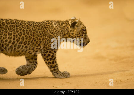 Big cat baby or young Leopard cub Panthera pardus , Ranthambore National Park , Rajasthan , India - Stock Photo