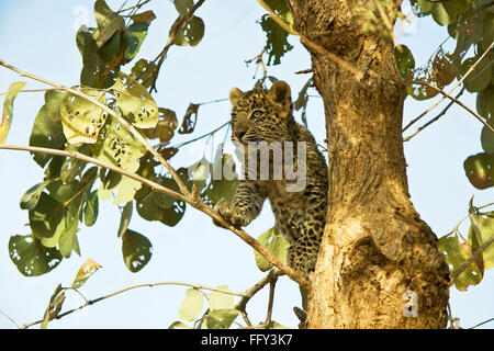 Big cat baby or young Leopard cub Panthera pardus sitting on tree , Ranthambore National Park , Rajasthan , India - Stock Photo
