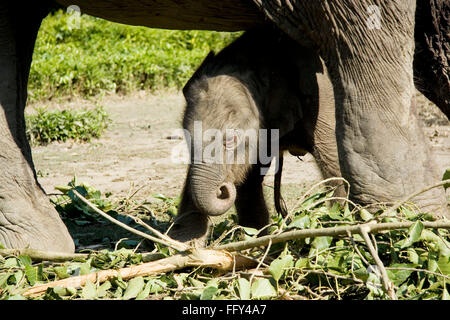 Indian elephant with new born calf , Dudhwa National Park , Uttar Pradesh , India - Stock Photo