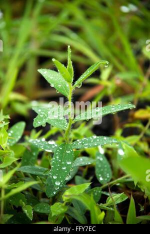 Dewdrops on small balsam plant , Malshej , Maharashtra , India