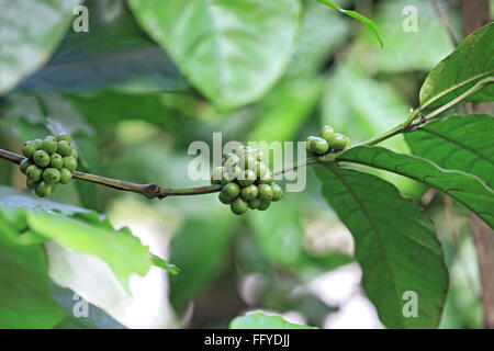 Coffee plant arabica ; Thekkady Thekkadi ; Dist Idukki ; Kerala ; India - Stock Photo