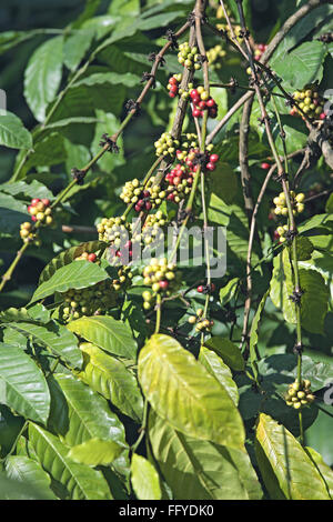 Coffee plant with berries arabica ; Thekkady Thekkadi ; District Idukki ; Kerala ; India - Stock Photo