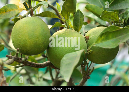 Fruits ; three green sweet orange mausambi citrus sinensis with leaves hanging on branch - Stock Photo