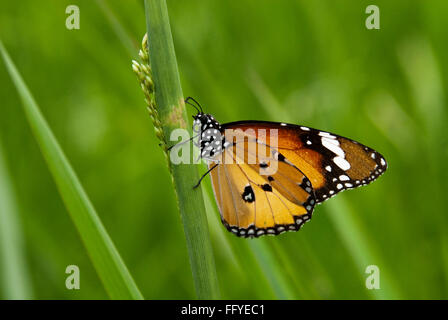 Plain Tiger lalbagh in Bangalore at Karnataka India Asia - Stock Photo