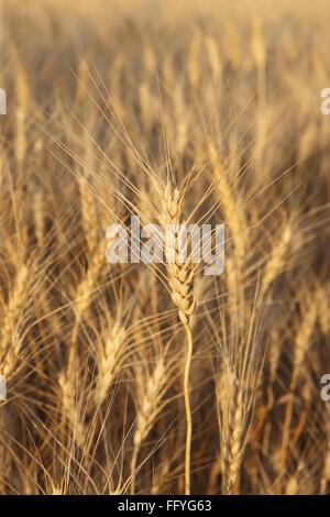 Golden wheat triticum aestivum ; Madhya Pradesh ; India - Stock Photo