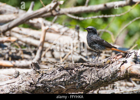 European Black redstart (Phoenicurus ochruros gibraltariensis) small black bird with  orange red tail resting on - Stock Photo