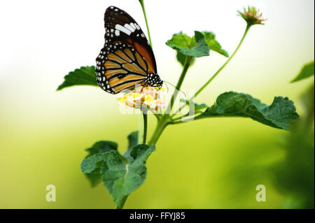 Striped or common tiger danaus genutia in Chintamoni Kar Sanctuary ; Calcutta Kolkata ; West Bengal ; India - Stock Photo