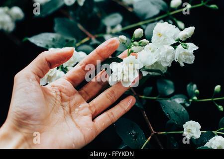 Woman Hand Touching Jasmine Flowers During Rainy Day - Stock Photo