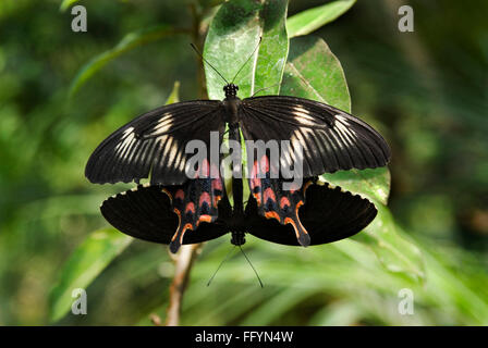 Common Mormon mating at Butterfly park Bannerghatta Bangalore Karnataka India Asia - Stock Photo