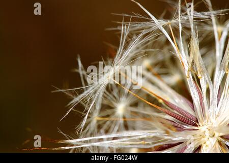 Close-Up Of Dandelion Seeds - Stock Photo