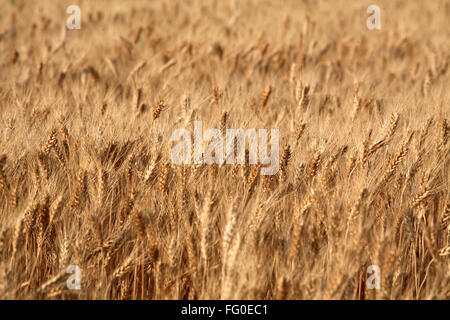 Golden wheat kernels ready for harvest in field ; Bhopal ; Madhya Pradesh ; India - Stock Photo
