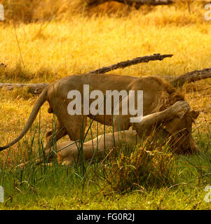 Two magnificent lion brothers with blond manes, regal beautiful wild animals seen on safari. Africa's top predator - Stock Photo