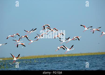 Flamingo birds flying Nalsarovar Gujarat India - Stock Photo