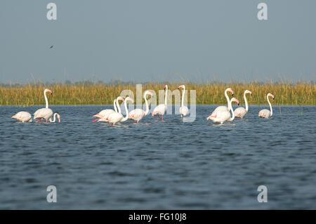 Flamingo birds in water ; Nalsarovar ; Gujarat ; India - Stock Photo