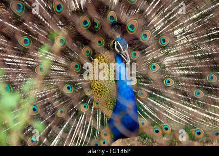 Bird , Peacock national bird dancing peacock with opened feather - Stock Photo