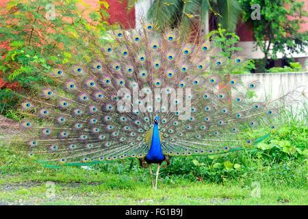 Peafowl Peacock Surat Gujarat India Asia Sept 2010 - Stock Photo
