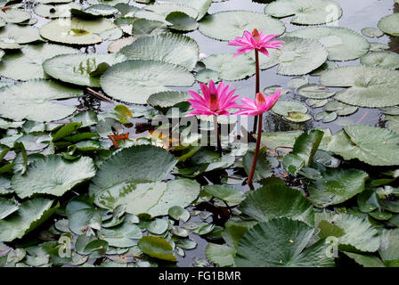 Pink water lily in local pond , Jodhpur , Rajasthan , India - Stock Photo