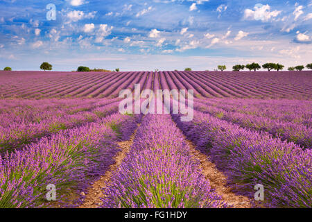 Blooming fields of lavender on the Valensole plateau in the Provence in southern France. - Stock Photo
