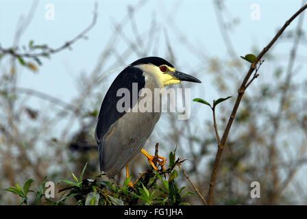 Birds , Black crowned Night Heron Nycticorax - Stock Photo