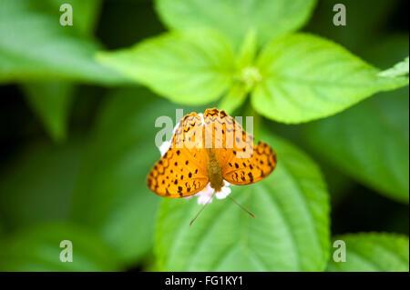 Common leopard butterfly phalanta phalantha ; India - Stock Photo