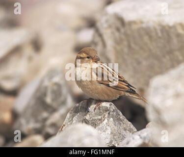Birds , Plain Mountain Finch , Leucosticte nemoricola , high altitude birds , Kaza , Himachal Pradesh , India - Stock Photo