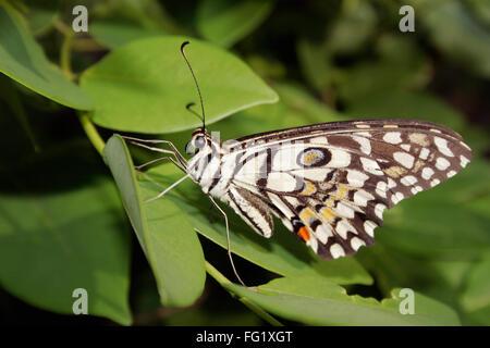 Insect , butterfly Lime Butterfly ii princeps demoleus libanius ii fruhstorferij