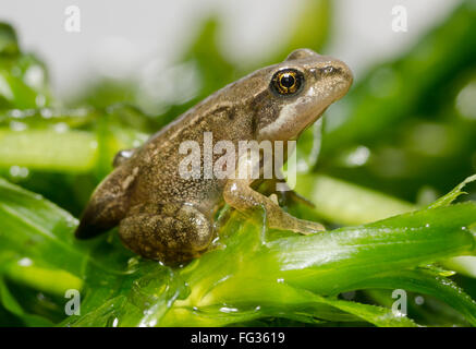 Froglet of Common Frog  Rana temporaria showing last vestiges of tail - Stock Photo