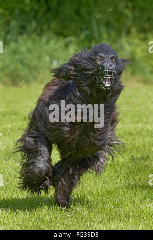 Greyhound racing,Schleswig Holstein, Germany, Europe - Stock Photo