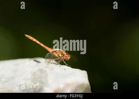 Common darter (Sympetrum striolatum) basking in the sun, on a limestone rock, posied waiting to strike out for a - Stock Photo