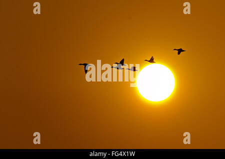 A flock of Greylag Goose flying infront of setting winter sun at Keoladeo National Park, Bharatpur, Rajastan, India - Stock Photo