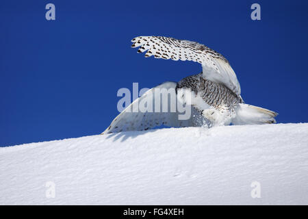 Snowy owl, Bubo scandiacus, trying to catch prey in the snow - Stock Photo